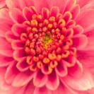 das Innere einer rosa Blüte
