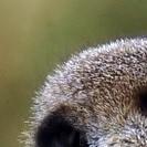 Hinterkopf von einem gelangweilten Erdmännchen