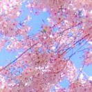 Obstblütenmeer vor Himmel