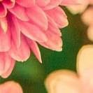 rosa Blütenränder