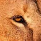 Löwenauge