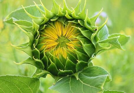 Selbstentfaltung - geschieht bei der Sonnenblume ganz natürlich
