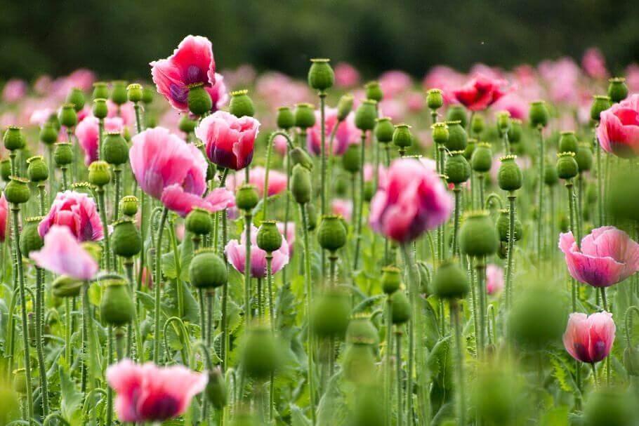 ein Mohnblumenfeld mit pinkfarbenen Blüten und grünen Samenkapseln