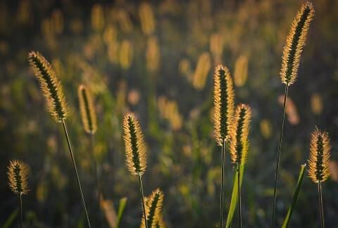 Gräserwiese im Abendlicht
