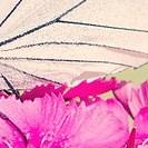 Bartnelke mit Schmetterlingsflügel