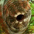 Auge von einem Chamäleon