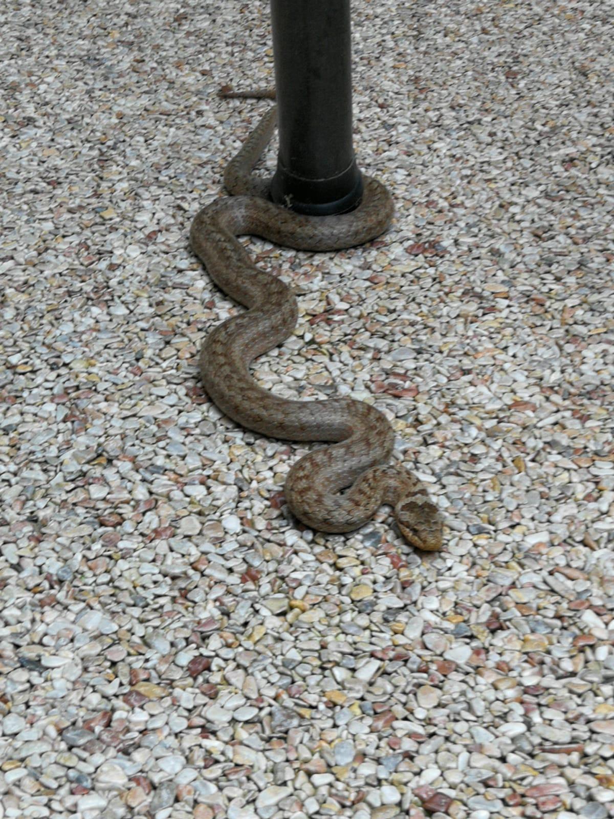 Diese Schlange ist  echt! Eine Schlingnatter in der Rhön auf arabescato