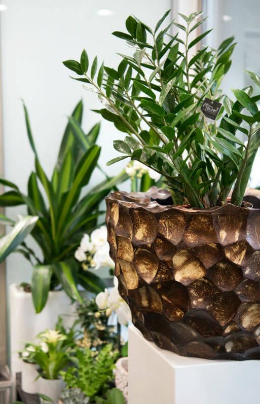Pot en coques de noix de coco et zamioculcas boutique florale Sabrina Maurel