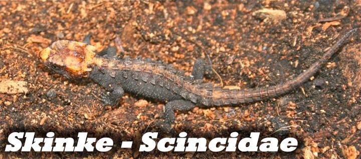 Skinke - Scincidae