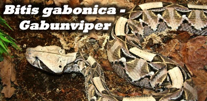 Bitis gabonica - Gabunviper