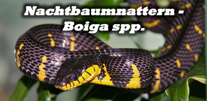 Nachtbaumnattern - Boiga spp.