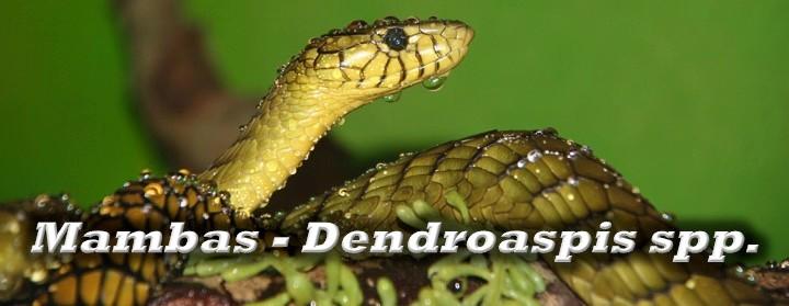 Mambas - Dendroaspis spp.