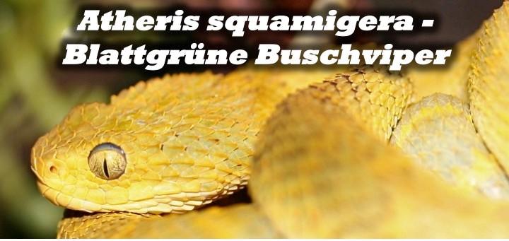 Atheris squamigera - Blattgrüne Buschviper