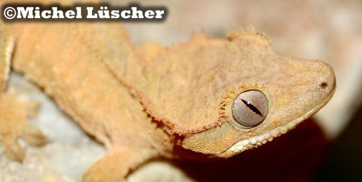 Rhacodactylus ciliatus