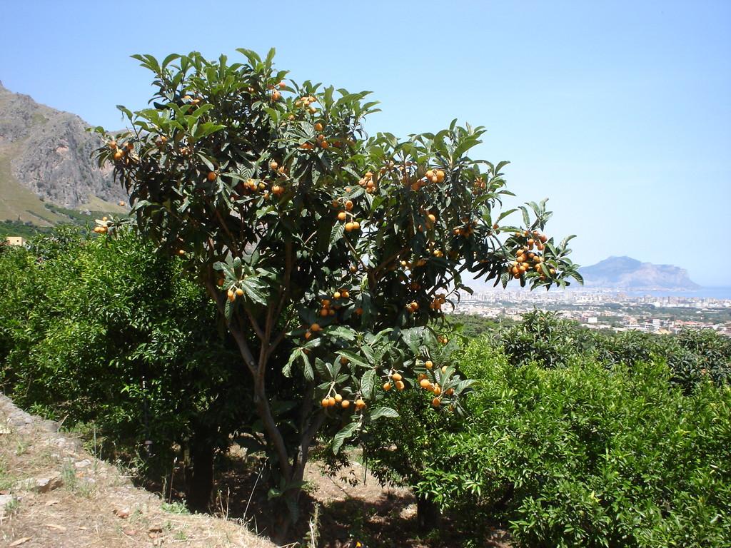 I nostri nespoleti sono spesso mescolati ai mandarineti
