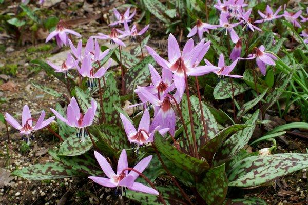 Erythronium rosa