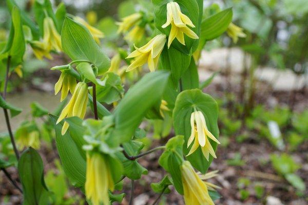 Uvularia parfoliata