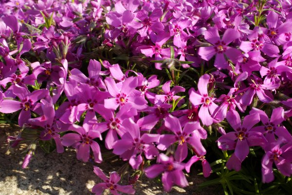 Phlox rosa