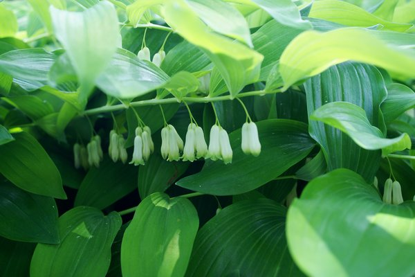 Polygonatum USA
