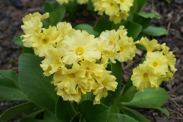 Auricel gelb