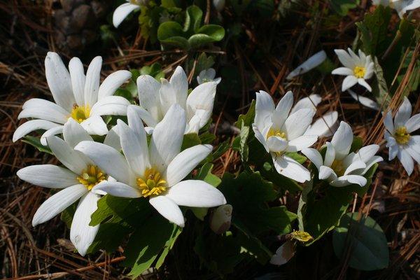 Sanguinaria canadensis