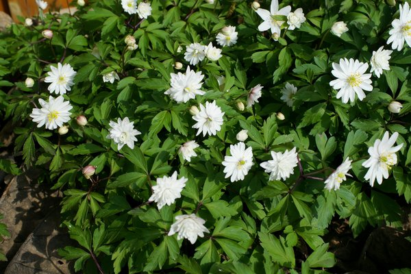 Anemone nemorosa Blue Eyes