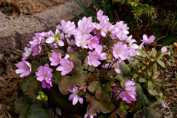 Leberbluemchen rosa
