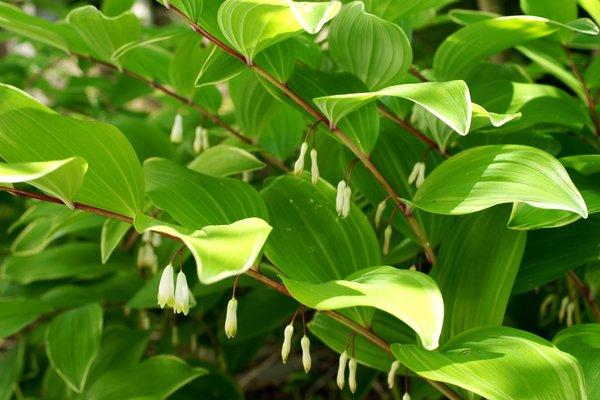 Polygonatum odoratum Variagata