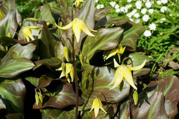Erythronium x Sundisc