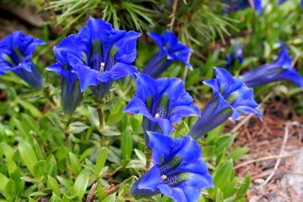 Gentiana blau