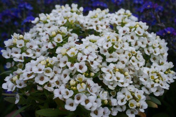 Zwergschleifenblume