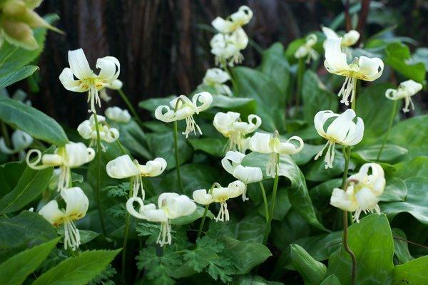 Erythronium Hybride cremeweiss