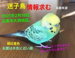 身体は青、頭は黄色、鼻は青、お腹は水色に近い緑のセキセイインコです。ご連絡は、宿のメールまでお願いいたします♪