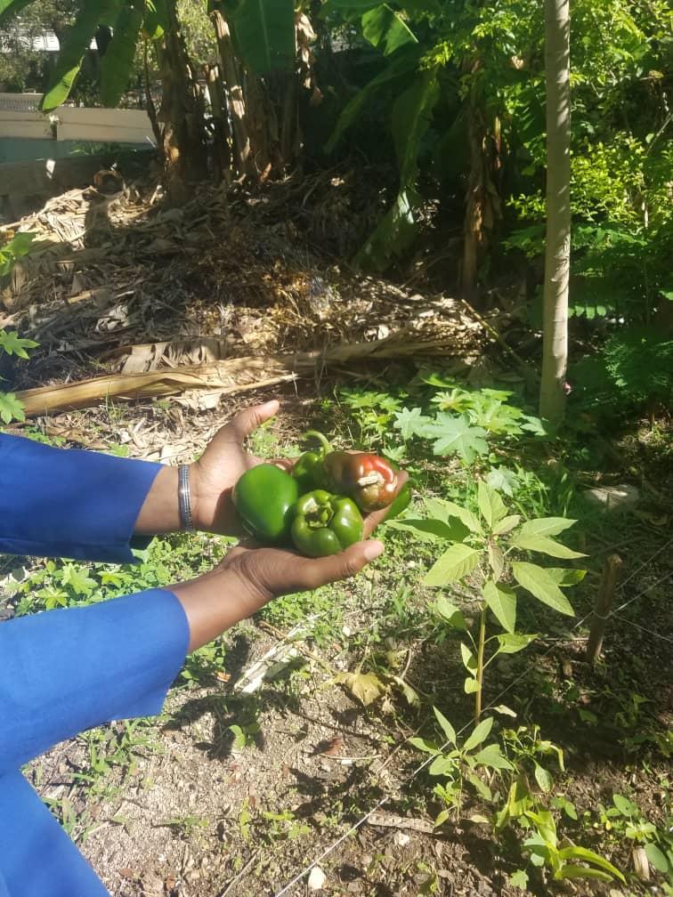 Récolte de poivrons