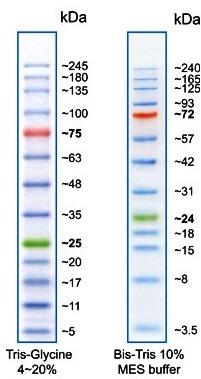 Proteinleiter vorgefärbt