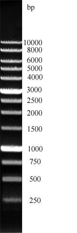 DNA leiter von GeneON 1000bp, 1 kb Größenmarker