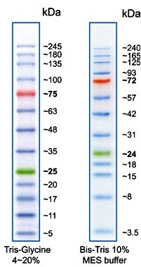 protein marker prestained protein ladder with 13 bands geneon