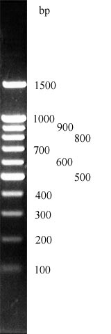 DNA ladder und DNA Leiter, GrößenMaker 100 bp plus