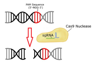 CRISPR-Technologie: Find CAS9-Basic Enzyme