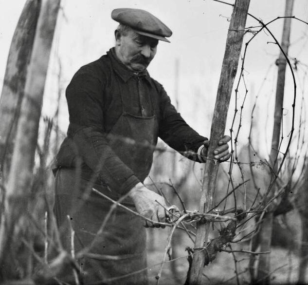La taille de la vigne, photographie Lucien BLUMER (1871-1947), Fonds Blumer, Archives de la ville de Strasbourg et de l'Eurométropole