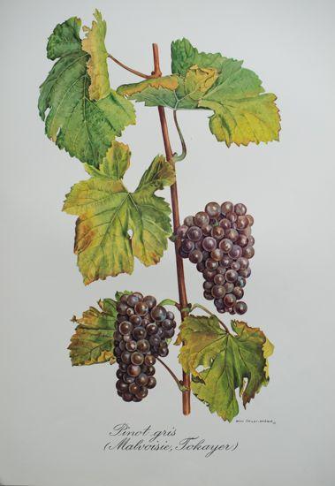 Le cépage Pinot Gris porte de nombreux noms : Fromenteau, Beurot, Malvoisie, Tokayer, Rülander...