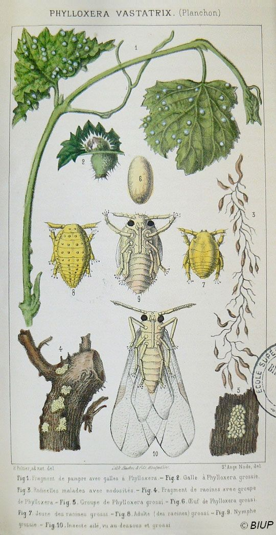 Le phylloxéra - Histoire de la lutte contre les maladies de la vigne en Alsace
