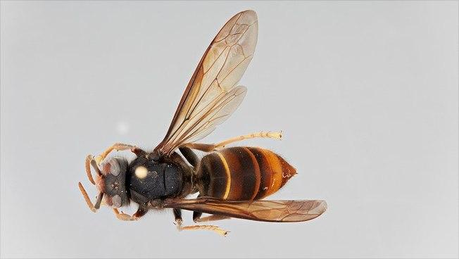 Asiatische Hornisse, Universität Hamburg, Bienenzuchtverein Merkstein