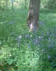 Hasenglöckchen Hyacinthoides non-scripta; seltene Pflanze der Bördenlandschaft (Rurtal bei Barmen/Jülich); Bienen