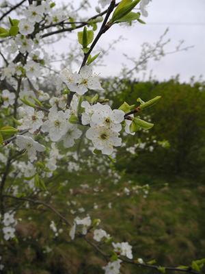 Abb. links: Kirschpflaume – Prunus cerasifera, blüht manchmal schon Anfang März, meist später, noch vor der Schlehe und deutlich vor der Vogelkirsche – Prunus avium