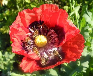 Bienen bei der Pollenernte in Orientalischem Mohn