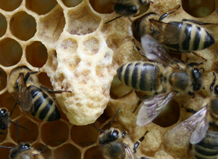 Bienenzuchtverein Merkstein, Bienen Merkstein, Bienen Aachen, Bienenverein Merkstein, Bienenverein Aachen, Biene, Bienen, Merkstein, Bienenzuchtverein, Bienen, Merkstein, Heinsberg-Merkstein, Imker, Verein, Honig