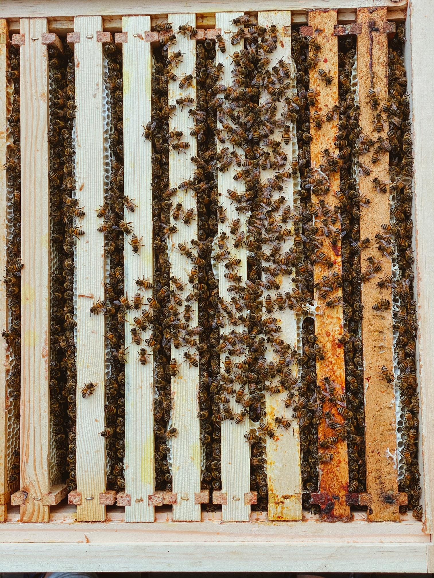Bienenvolk in einer Trogbeute, Imker, Jungimker, Bienenzuchtverein, Bienen, Merkstein, Heinsberg-Merkstein, Imker, Verein, Honig