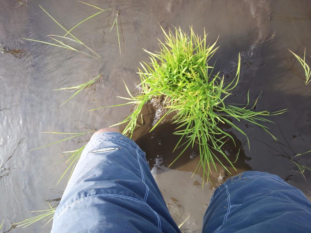 こっ、こっ、この苗を僕に植えろとおっしゃるのですね。膝下まで埋まった足がうごきません。こんなで田植えは終わるのか?