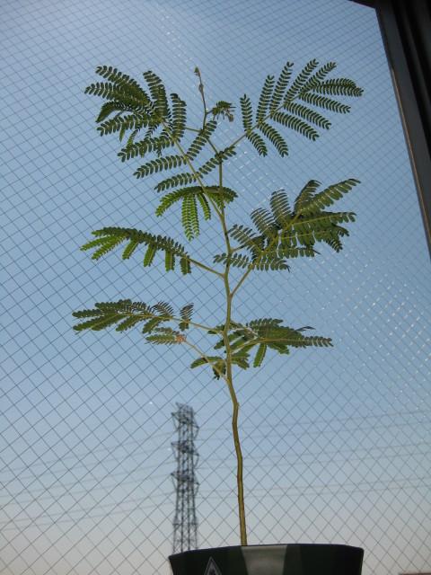 樹齢8ヶ月・樹高75cm